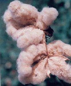 有机彩棉的优缺点,有机彩棉和纯棉哪个好?