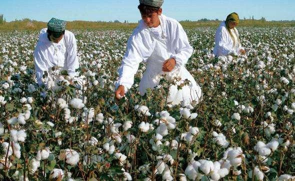 印度棉协下调本年度棉花产量预期