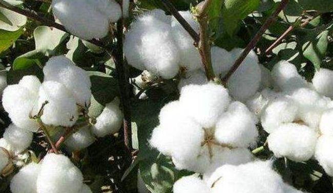 巴基斯坦涤纶价格进一步下跌,棉花价格小幅反弹