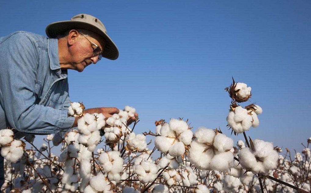 美媒:棉价坚挺,需求略有好转