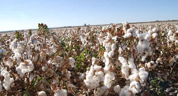 什么是有机棉,有机棉有什么特点?