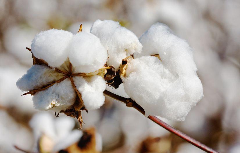 新疆棉花产量再创新高,占全国83.8%
