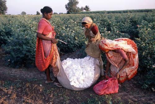 印度棉花公司将销售本年度收购的棉花