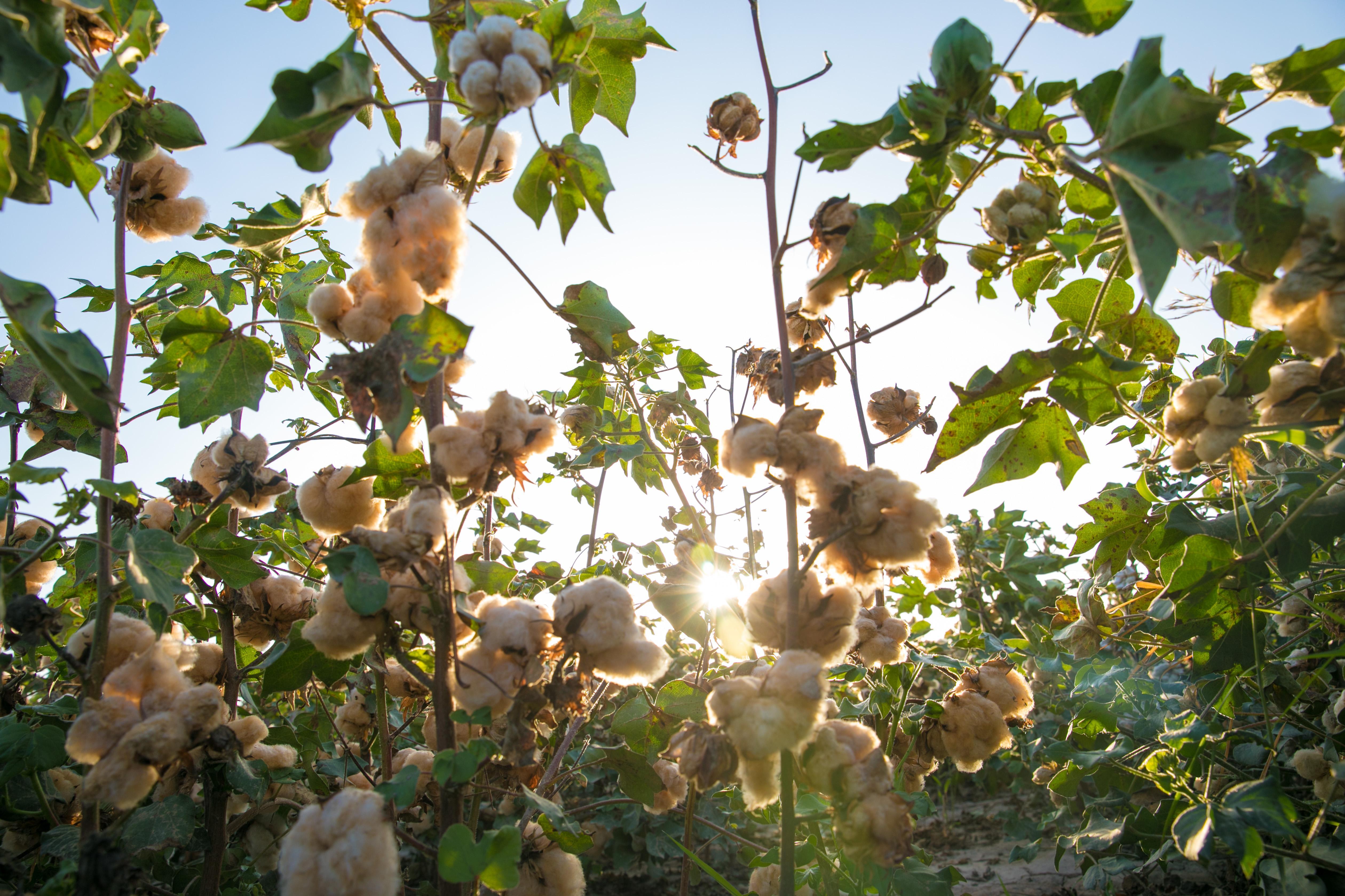 美棉出口不及预期六成,中美贸易摩擦是否足以启稳棉市?
